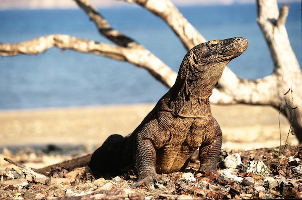 Komodo Dragon - Indonesia